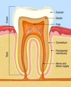 Tooth Anatomy for tooth decay